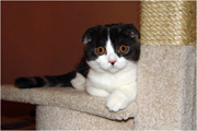 Scottish Fold and Exotic Shorthair cattery