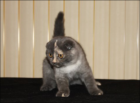Scottish Fold & Exotic cats cattery  :  SUNRISEFOLD Cattery